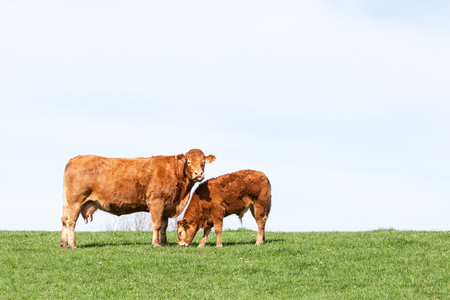Brown Limousin beef cow and her grazing calf in a green grassy pasture on the skyline against a hazy  white sky with copy space