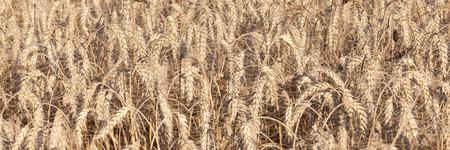cultivo de trigo: bandera panorámica de espigas de trigo, Triticum aestivum, listos para la cosecha tomada el día se cosechó el cultivo