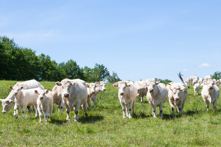 cattle breeding: White Charolais beef  cattle breeding herd in a lush spring pasture standing facing the camera Stock Photo