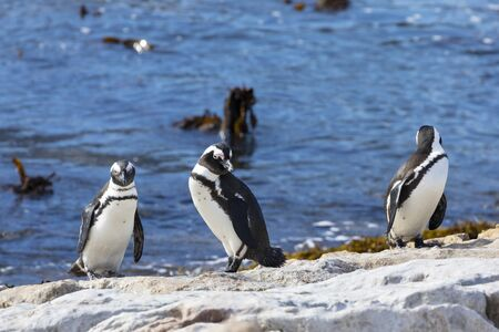 African Penguins, Spheniscus demersus, at Stony Point Nature Reserve, Bettys Bay, Overberg, South Africa standing on rocks at edge of sea