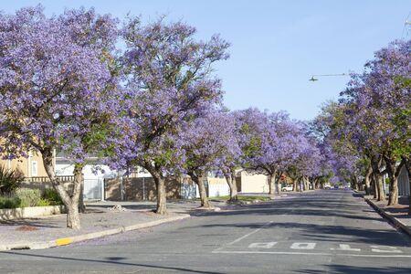 Viola Jacaranda alberi, Jacaranda mimosifolia, fioritura in primavera, in una strada a Robertson, Sud Africa
