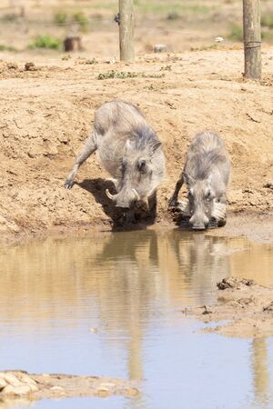 Warthog, Phacochoerus africanus, Addo Elephant National Park, Eastern Cape, South Africa. Adult and juvenile drinking at waterhole