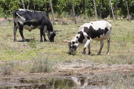 Black and White Nguni cows grazing in a pasture, Western Cape, South Africa. This is an indigenous hybrid breed used for milk and beef