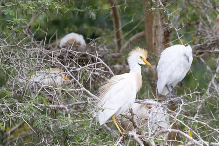 Western Cattle Egret (Bubulcus Ibis), Leidam, Montagu, Western Cape, South Africa, Breeding adult in colony with nesting birds and juvenile behind