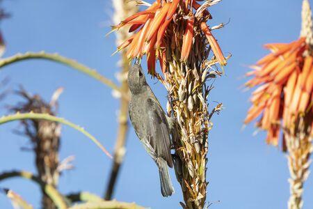Female Malachite Sunbird (Nectarinia  famosa) feeding on nectar on aloe flower, Western Cape, South Africa