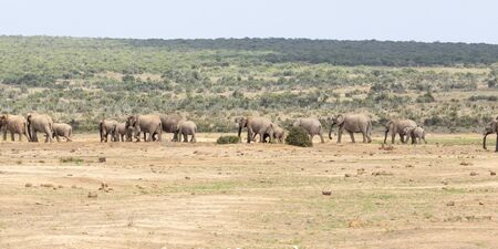 African elephants (Loxodonta africana) at Addo Elephant National Park, Eastern Cape, South Africa. Large herd walking through savannah habitat