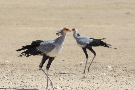 Secretarybird (Sagittarius serpentarius,) walking past its mate, Kgalagadi Transfrontier Park, Kalahari, Northern Cape, South Africa. Listed as Vulnerable Species
