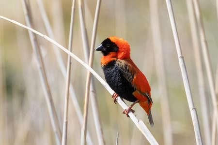 Southern Red Bishop (Euplectes orix) breeding male perched on reed, Vrolijkheid NatureReserve, McGregor, Western Cape, South Africa in side view
