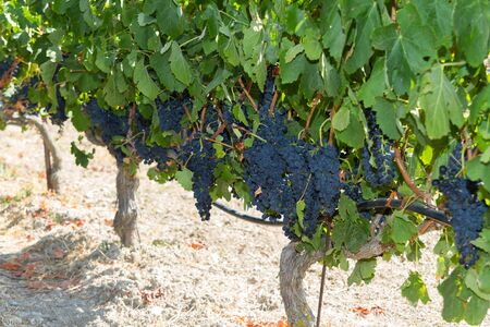 fruitful: Selected varieties of healthy, ripe and juicy red wine grapes ready to be harvested  Stock Photo