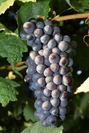 Selected varieties of healthy, ripe and juicy red wine grapes ready to be harvested  photo
