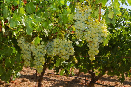 Selected varieties of healthy, ripe and juicy white grapes ready to be harvested. photo