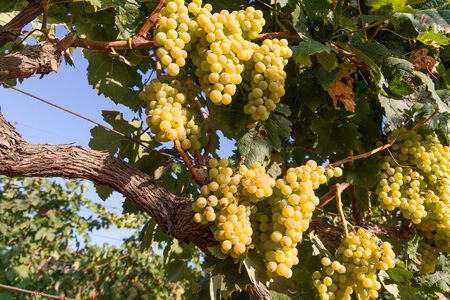 fruitful: Selected varieties of healthy, ripe and juicy white grapes ready to be harvested.