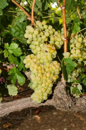 wei�e trauben: Ausgew�hlten Sorten von gesund, reif und saftig wei�en Trauben bereit, geerntet werden.