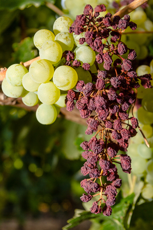Wine grapes infected with the vinesparasite Mildew, a vines disease which causes the grapes and the plant to gradually dry  Stock Photo