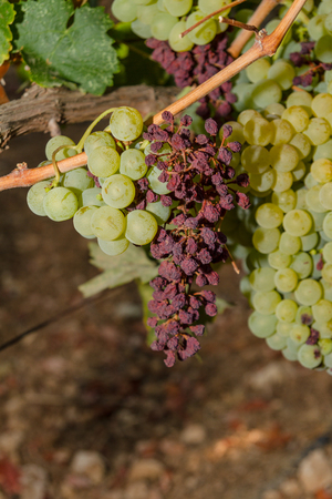 oorzaken: Druiven wijn besmet met het vinesparasite Meeldauw, een wijnstokken ziekte die de druiven en de plant geleidelijk droog veroorzaakt Stockfoto