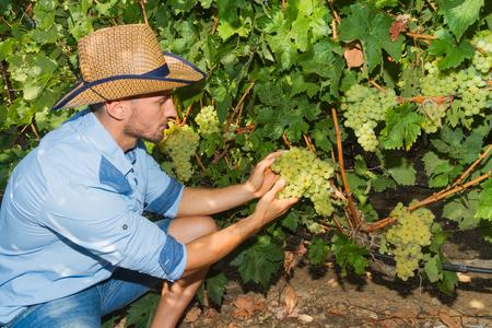 grower: Young man, vine grower, walks through grape vines inspecting the fresh grape crop.