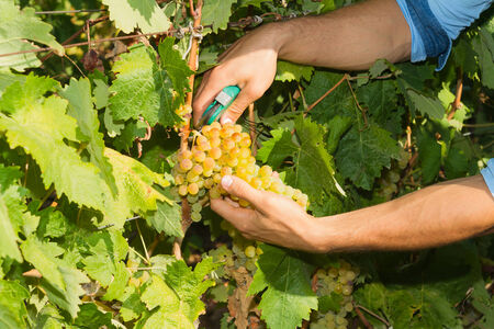 grower: Young man, vine grower, about to cut a grape off the vine.
