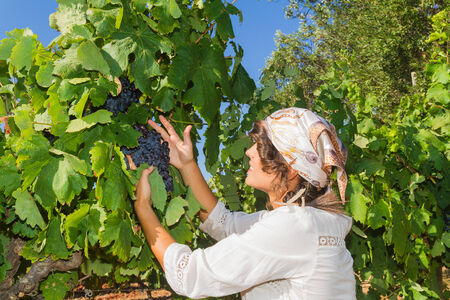 winemaker: Young woman, vine grower, walks through grape vines inspecting the fresh grape crop.