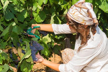 grower: Young woman, vine grower, walks through grape vines inspecting the fresh grape crop.