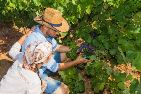 growers: Young couple, vine growers, walk through grape vines inspecting the fresh grape crop.