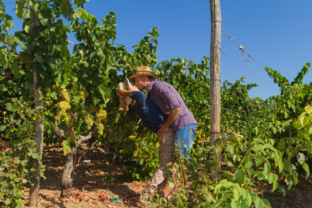 growers: Young couple, vine growers, hugging and kissing in the  grape vines. Stock Photo