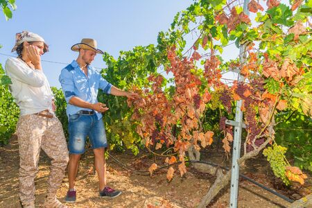mildew: Disappointed farmers inspecting mildew parasite vines and grapes. Mildew parasite disease causes infected to gradually dry.