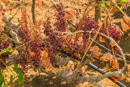 gradually: Wine grapes infected with the vines parasite mildew, a vines disease which causes the grapes and the plant to gradually dry.