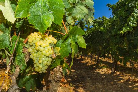 uvas: Vides con jugosas uvas blancas maduras listos para ser cosechadas. Foto de archivo