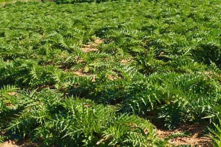 vegetable plants: Artichokes vegetable plants field in the Mediterranean island of Crete. Stock Photo