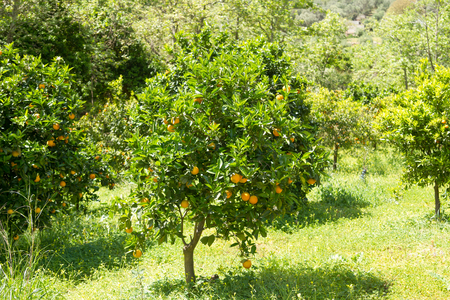 naranjo arbol: Orange tree with blossoms, and branches with juicy, harvest ready oranges.