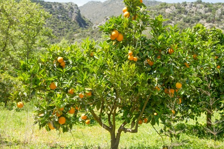 orange grove: Orange tree with blossoms, and clusters of juicy, harvest ready oranges.