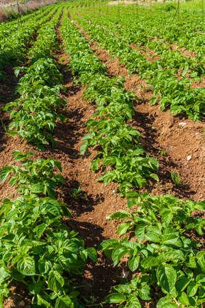 Potatoes plants field in morning sunlight