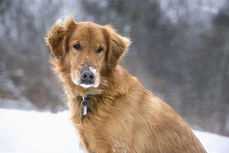 winters: Golden Retriever dog enjoying a winters day