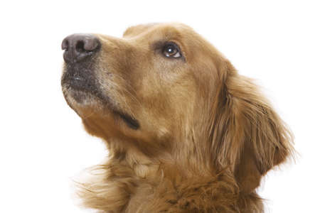 a Golden Retriever dog on a white background Stock Photo - 7000277