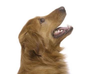 a Golden Retriever dog on a white background photo