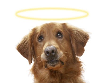 a Golden Retriever dog on a white background, wearing a halo photo