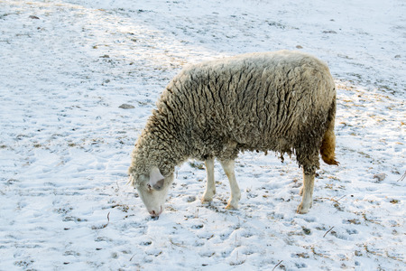 sheepfold: Sheep in nature on meadow. Farming outdoor.