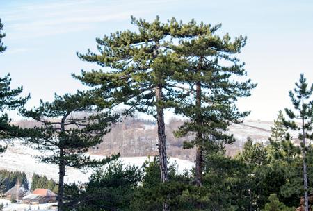 Old Lebanon Cedar Фото со стока