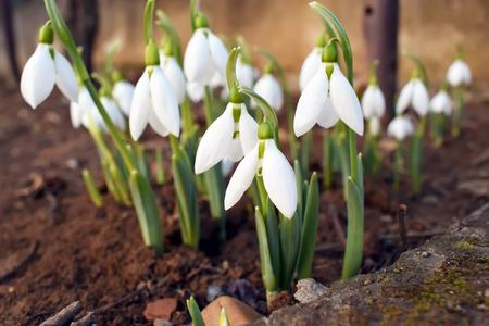 Snowdrop spring flowers. Snowdrop Snowdrop forest