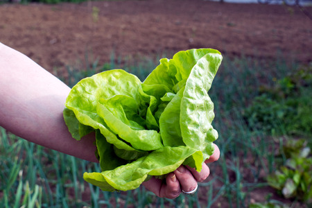 young lettuce crop, pluck from the garden Stock Photo