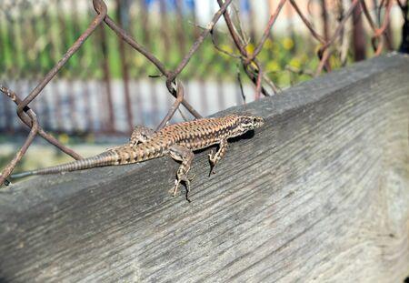 lizard Lacerta viridis on a wooden board Stock Photo