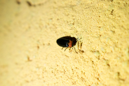Eastern Firefly (Photinus piralis) on the wall