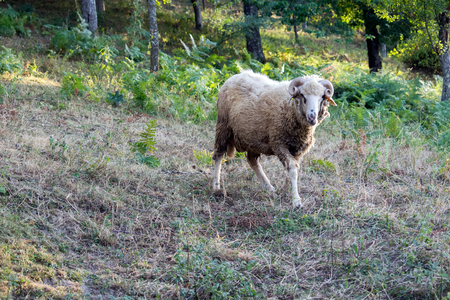 The ram stands in the meadow