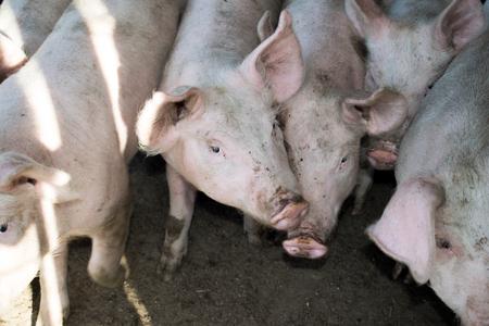 Een kleine varkens in de boerderij. groep varkens in de boerderij