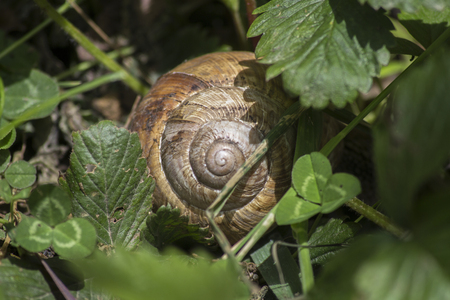 Big snail and shell in the meadow. snail in the grass Foto de archivo