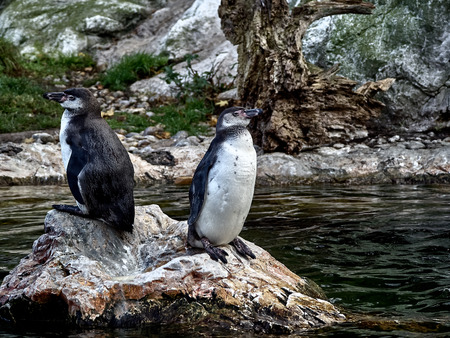 Shot of two penguins relaxing on a stone in a lake