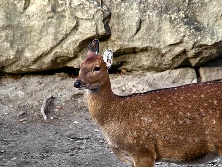 Shot of a nice doe at the zoo Standard-Bild - 115472344