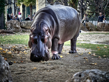 Shot of an hippopotamus while eating at the park Standard-Bild - 115473804