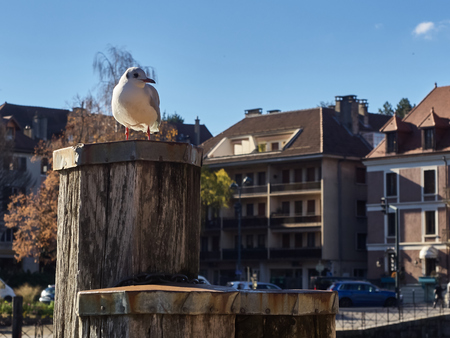 View of a little seagull on a dock, in the Thiou river, an effluent of the lake of Annecy. Standard-Bild - 117774386