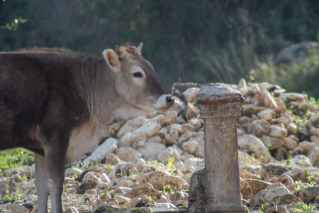 View of a cow drinking from a water fountain. The shot is taken during a beautiful sunny day in Sicily, Italy Standard-Bild - 120090880